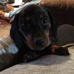 Dachshund Puppy For Sale in KINGSLAND, TX, USA
