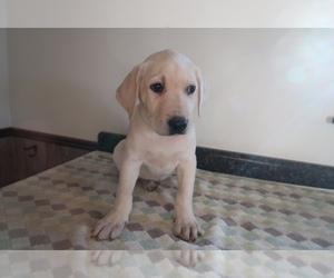 Labrador Retriever Puppy for sale in BLOOMINGTON, IN, USA