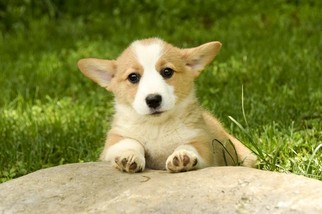 View Ad Pembroke Welsh Corgi Litter Of Puppies For Sale Near