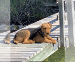 Small #4 Airedale Terrier