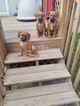 Rhodesian Ridgeback Puppy For Sale in LEES SUMMIT, MO, USA