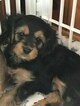 Cavalier King Charles Spaniel-Shorkie Tzu Mix Puppy For Sale in ITHACA, NY, USA