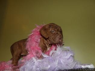 Neapolitan Mastiff Puppy For Sale in LAKELAND, FL, USA