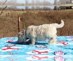 Small #3 Goldendoodle