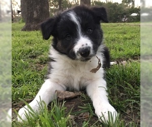 Border Collie Dog for Adoption in WILLS POINT, Texas USA