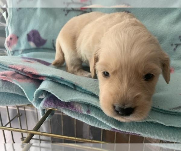 Medium Photo #3 Golden Retriever Puppy For Sale in LAPEER, MI, USA