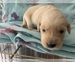 Small Photo #3 Golden Retriever Puppy For Sale in LAPEER, MI, USA