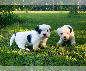 Maltipoo Puppy for sale in GODWIN, NC, USA