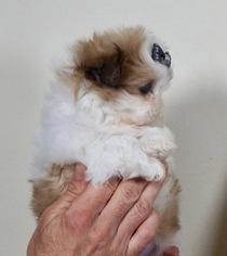 Adorable Teddy Bear Puppies REady to go