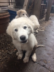 Great Pyrenees Puppy For Sale in LOUISVILLE, KY