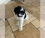 Small #5 F2 Aussiedoodle