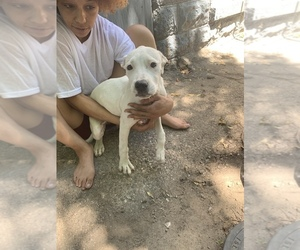 American Staffordshire Terrier Puppy for sale in DETROIT, MI, USA