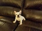 AKC Male French Bulldog Puppy
