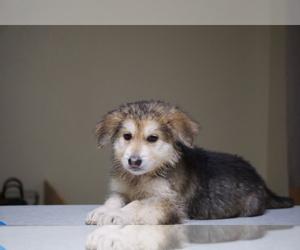 German Shepherd Dog-Siberian Husky Mix Puppy for Sale in NAVAL BASE VENTURA COUNTY, California USA
