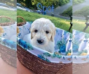 English Cream Golden Retriever Puppy for sale in VACAVILLE, CA, USA