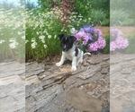 Puppy 2 Border Collie-Unknown Mix