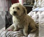 Small #1 Maltipoo-Poodle (Toy) Mix