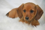 Dachshund Puppy For Sale in OSKALOOSA, KS, USA
