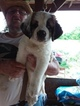 Saint Bernard Puppy For Sale in LANCASTER, KY,