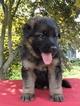 German Shepherd Dog Puppy For Sale in LOVETTSVILLE, VA
