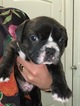 Faux Frenchbo Bulldog Puppy For Sale in BLUE MOUND, TX, USA
