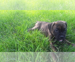 Boxer Puppy for sale in CHASKA, MN, USA
