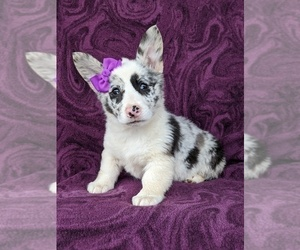 Pembroke Welsh Corgi Puppy for sale in GLEN ROCK, PA, USA