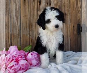 Sheepadoodle Dog for Adoption in SUGARCREEK, Ohio USA
