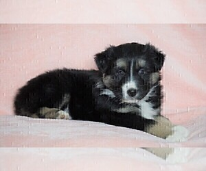 Australian Shepherd Puppy for sale in FREDERICKSBG, OH, USA