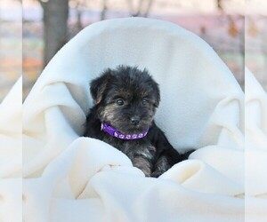 Shorkie Tzu Puppy for sale in LOYSVILLE, PA, USA