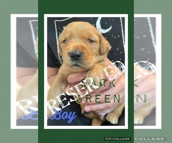 Medium Photo #5 Golden Retriever Puppy For Sale in TEMPLE, TX, USA