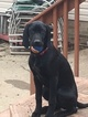 German Shorthaired Pointer Puppy For Sale in CANTON, Ohio,