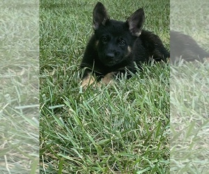 German Shepherd Dog Puppy for sale in HOYT, KS, USA