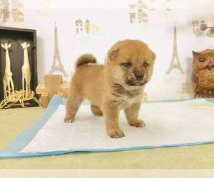 Shiba Inu Puppy for sale in BERKELEY, CA, USA