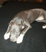 American Bully Puppy For Sale in LAWRENCEVILLE, GA, USA