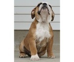 Small #1 Beabull-English Bulldog Mix
