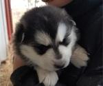Puppy 7 Akita-Alaskan Malamute Mix