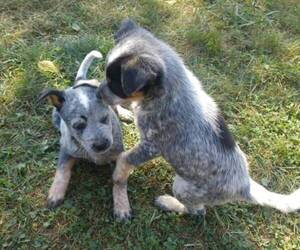 Australian Cattle Dog Puppy for sale in BETHEL, OH, USA