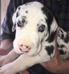 Great Dane Puppy For Sale in HOUGHTON LAKE, MI, USA