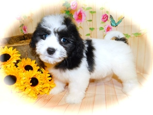 Havanese-Poodle (Toy) Mix Puppy for sale in HAMMOND, IN, USA