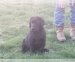 Labrador Retriever Puppy for sale in LEBANON, MO, USA