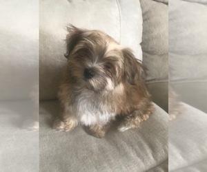Morkie Puppy for sale in PR DU CHIEN, WI, USA