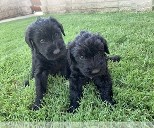 Schnauzer (Giant) Puppy for Sale in LA PUENTE, California USA