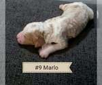 Puppy 1 Labradoodle-Poodle (Standard) Mix
