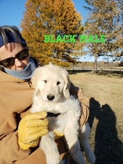 Goldendoodle Puppy for Sale in CLARKSVILLE, Texas USA