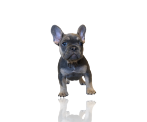 French Bulldog Puppy for Sale in GRETNA, Louisiana USA