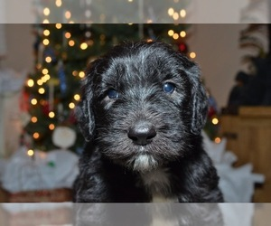 Sheepadoodle Puppy for Sale in COTTONWD HGTS, Utah USA