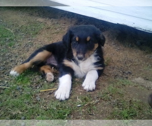 Australian Shepherd Puppy for sale in ALEXANDRIA, OH, USA