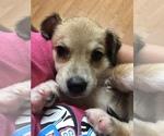 Puppy 4 Beagle-Siberian Husky Mix