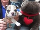 Small #12 Bulldog